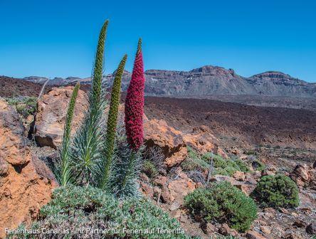Wildprets Natternkopf am Teide