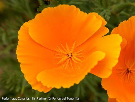 Goldmohn Auf Teneriffa Ein Meer Aus Gelben Blüten