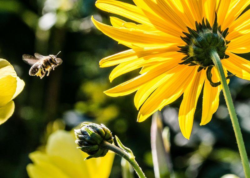 Bienen fliegen zu einer Blüte - Teneriffas Bienen & Honig